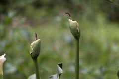 Fleurs défraîchies de calla Photographie stock