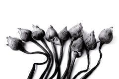 Fleurs défraîchies de nénuphar ou de lotus sur noir et blanc Photos stock