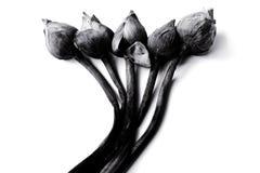 Fleurs défraîchies de nénuphar ou de lotus sur noir et blanc Images libres de droits