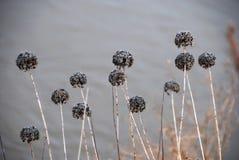 Fleurs défraîchies en hiver Images stock
