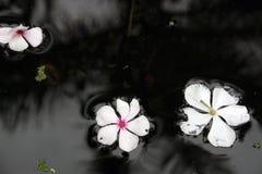 Fleurs dérivant dans l'eau Photos stock