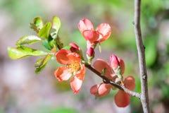 Fleurs d'écarlate de plan rapproché de floraison de coing japonais photographie stock libre de droits