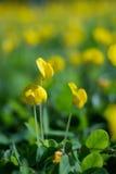 Fleurs d'écrou de Brazliian Photo libre de droits