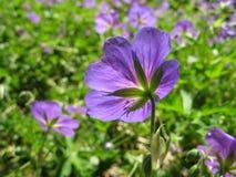 Fleurs d'été dans Maine Photographie stock