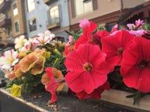 Fleurs d'été de station de vacances de Sunpeaks Photo stock
