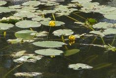 Fleurs d'étang Photo libre de droits