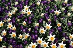 Fleurs d'étoile sous le soleil d'Amsterdam photographie stock libre de droits