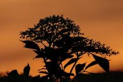 Fleurs d'aîné de fleur au crépuscule Photographie stock libre de droits