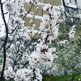 Fleurs d'abricot à Kiev, Ukraine photo libre de droits