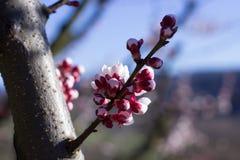 Fleurs d'abricot Photos libres de droits
