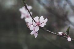 Fleurs d'abricot Image stock