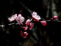Fleurs d'abricot en pleine floraison au printemps image stock