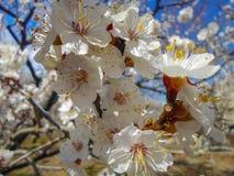 Fleurs d'abricotier Photographie stock libre de droits