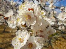 Fleurs d'abricotier Images libres de droits