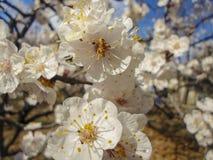 Fleurs d'abricotier Photo libre de droits
