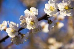 Fleurs d'abricotier avec le foyer mou Fleurs blanches de ressort sur une branche d'arbre Abricotier en fleur Ressort, fleurs blan Photographie stock libre de droits