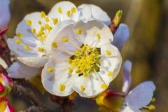 Fleurs d'abricotier avec le foyer mou Fleurs blanches de ressort sur une branche d'arbre Abricotier en fleur Ressort, fleurs blan Photo libre de droits