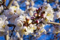 Fleurs d'abricotier avec le foyer mou Fleurs blanches de ressort sur une branche d'arbre Abricotier en fleur Ressort, fleurs blan Image libre de droits