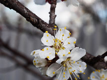 Fleurs d'abricotier avec le foyer mou Fleurs blanches de ressort sur une branche d'arbre Cerisier en fleur Ressort, saisons Photos stock