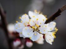 Fleurs d'abricotier avec le foyer mou Fleurs blanches de ressort sur une branche d'arbre Cerisier en fleur Ressort, saisons Image stock
