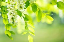 Fleurs d'acacia Image libre de droits