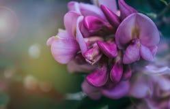 Fleurs d'acacia Images libres de droits