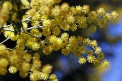 Fleurs d'acacia Photo libre de droits