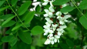 Fleurs d'acacia sur une branche Photographie stock libre de droits