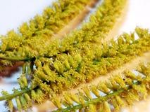 Fleurs d'Acasia Photos libres de droits