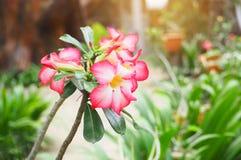 Fleurs d'Adenium en nature Photographie stock