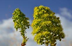 Fleurs d'Aeonium Image libre de droits