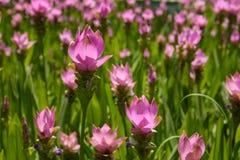 Fleurs d'aeruqinosa de safran des Indes Photo stock