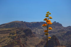 Fleurs d'agave Photo libre de droits