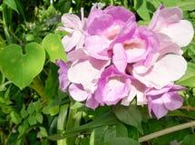 Fleurs d'ail Photographie stock libre de droits
