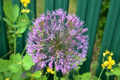 Fleurs d'ail Photo libre de droits
