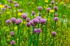 Fleurs d'ail Photos libres de droits