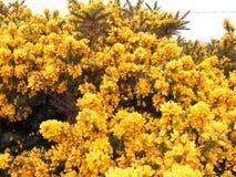 Fleurs d'ajonc. Image libre de droits