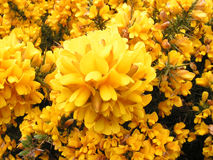 Fleurs d'ajonc. Images libres de droits