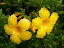 Fleurs d'Alamanda Photographie stock libre de droits