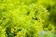 Fleurs d'alchémille vulgaire Photos stock