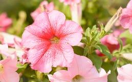Fleurs d'Allamanda Images libres de droits