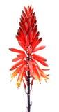 Fleurs d'Alovera Photographie stock libre de droits