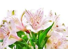 fleurs d'alstroemeria Image stock