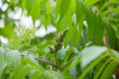 Fleurs d'altissima d'Ailanthus prêtes à fleurir images libres de droits
