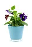 Fleurs d'alto dans le bac image stock