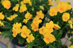 Fleurs d'altos dans le jardin Images libres de droits