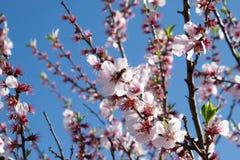 Fleurs d'amande Photo libre de droits