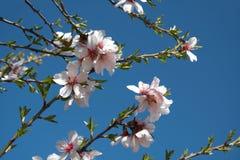 Fleurs d'amande Photographie stock libre de droits