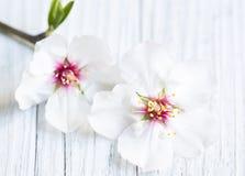 Fleurs d'amande Image stock
