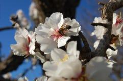 Fleurs d'amande Photos libres de droits